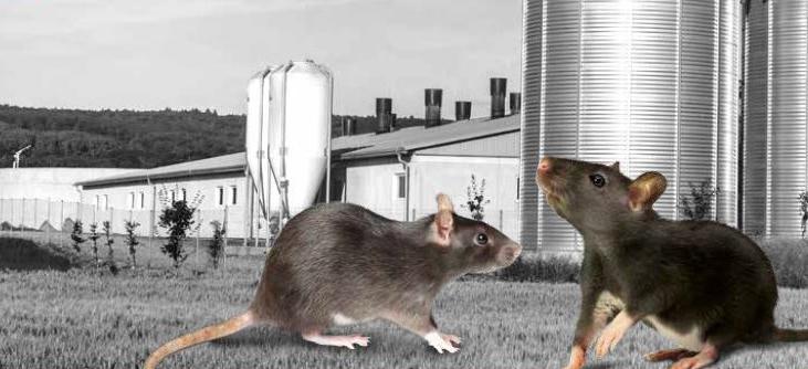 Le rat noir : En venir à bout !